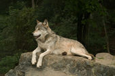 Growling great plains wolf — Stock fotografie
