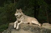 Growling great plains wolf — Stock Photo