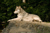 Lounging great plains wolf — Stock Photo