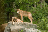 Two rocky mountain wolves on rock — Stock Photo