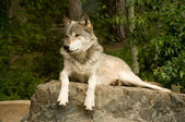Watchful great plains wolf — Stock Photo