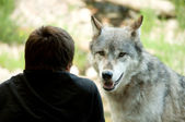 Watching the wolves — Stock Photo