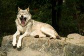 Yawning wolf — Stock Photo