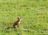 Sitting fox — Stock Photo