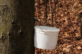 Catching maple sap 2 — Stock Photo