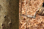 Drzewo klon wiertła — Zdjęcie stockowe