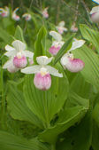 Lady slipper cluster — Stock Photo