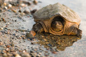 Turtle reflection — Stock Photo