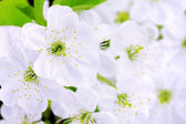 Close-up of Cherry blossoms — Stock Photo
