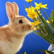 Easter bunny and yellow tulips — Stock Photo #2514267