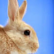 Easter bunny on blue background — Stock Photo