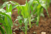 Young leaves of corn — Stock Photo