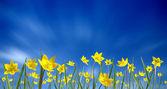 Small yellow tulips — Stock Photo