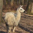 Llama (Lama glama) - Stock Photo
