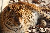Jaguar — Stockfoto