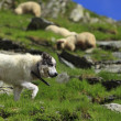 Shepherd dog — Stock Photo