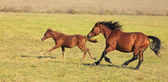 Horses Running — Stock Photo