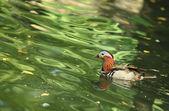Mandarin duck (Aix galericulata) — Stock Photo