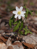 Wood anemone (Anemone nemorosa) — Stock Photo