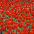 Постер, плакат: Field of red tulips