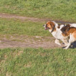 St. Bernard running — Stock Photo