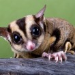 Stock Photo: Sugar glider on branch
