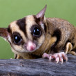 Sugar glider on branch - Stock Photo