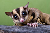 Sugar glider on branch — Stock Photo