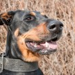 Portrait of a black doberman - Stock Photo