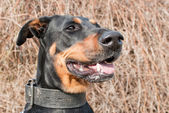 Portrait of a black doberman — Stock Photo