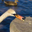 Eating swan - Stock Photo