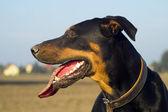 Resting hound — Stock Photo