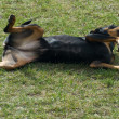 Rolling dog — Stock Photo