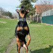 Jumping dog - Stockfoto