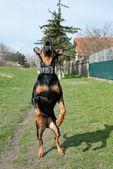 Jumping dog — Stock Photo