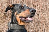 Porträtt av en svart doberman — Stockfoto