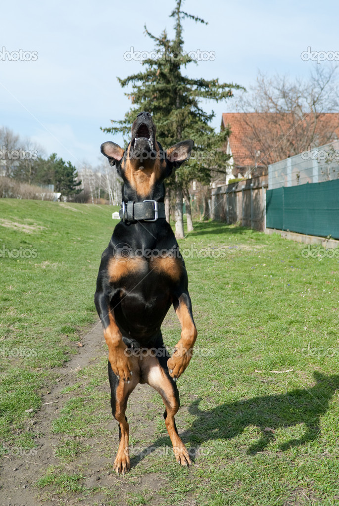 A black doberman jumping in the air with an open mouth — Stock Photo #2193548