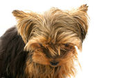 Small sad yorkshire dwarf terrier — Stock Photo