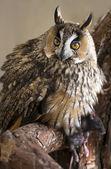 Owl — Stock Photo
