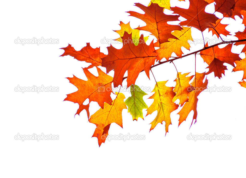 autumn leaves isolated on white — Stock Photo #1854759