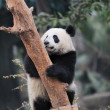 Panda climbing tree — Stock Photo