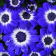 Blue flowers — Stock Photo #2015522