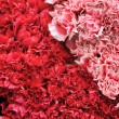 Pink and red bed Carnation background — Stock Photo