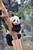 Panda climbing tree — Stock Photo