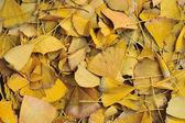 Fundo de folhas de ginko — Foto Stock