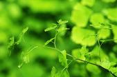 Green ginkgo leaf — Stock Photo