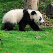 Royalty-Free Stock Photo: Walk panda