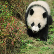 Walk panda — Stock Photo