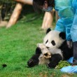 Woman feeding panda — Stock Photo #2452527