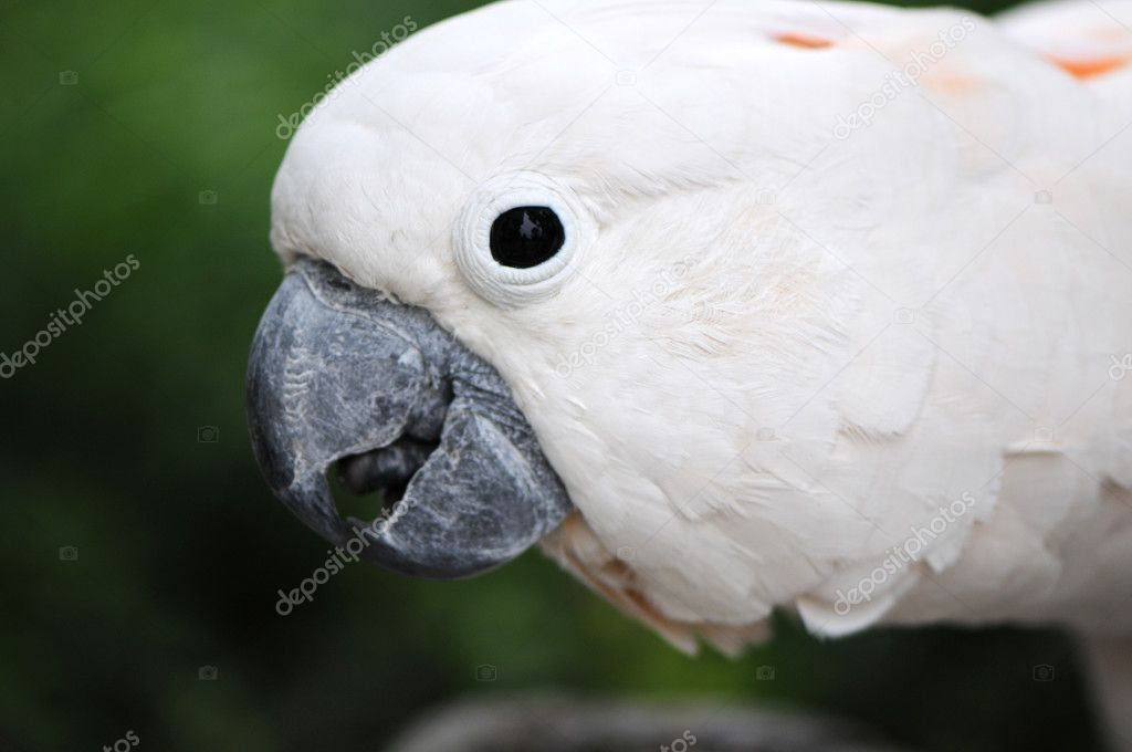 White parrot — Stock Photo #2461597